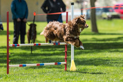 Dog in an agility competition Royalty Free Stock Photography