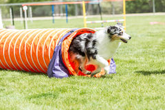 Dog in an agility competition. Set up in a green grassy park stock photo