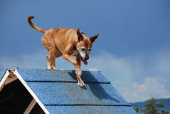 Dog Agility A-frame Royalty Free Stock Photography