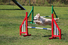 Dog agility Stock Photography