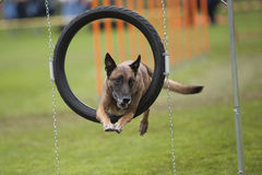 Dog in agility hoop Royalty Free Stock Images