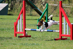 Dog agility. A jack russel that jumps an obstacle of dog agility royalty free stock photo
