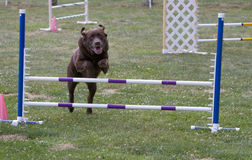 Dog Agility Jumping Royalty Free Stock Images