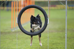Dog agility Royalty Free Stock Photography