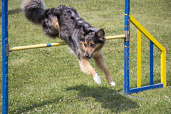 Dog Agility jumping. Over a hurdle during an agility competition Royalty Free Stock Photography