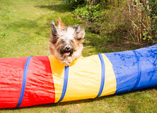 Dog Agility with jumping Tibetan Terrier Royalty Free Stock Photo