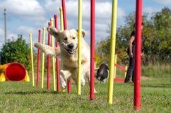 Free Dog Agility Slalom Stock Image - 83354651