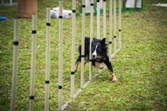 Dog agility - slalom. International Dog agility - slalom in the grass Stock Photography