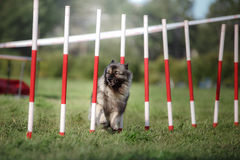 Dog agility slalom Royalty Free Stock Image