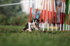 Dog agility slalom. Sports competitions of dogs in the summer in the park Stock Image