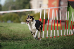 Dog agility slalom Stock Photography