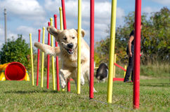 Dog agility slalom stock image