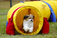 Dog Agility Tunnel Run Royalty Free Stock Image