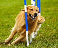 Dog Agility Weave Competition Royalty Free Stock Photos