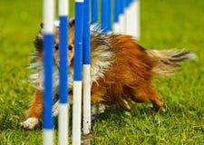 Dog Agility Weave Eyes Royalty Free Stock Photo
