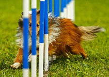 Dog Agility Weave Eyes Royalty Free Stock Photo