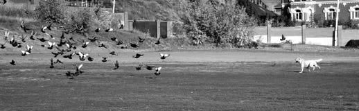 Dog ahd birds. Black ahd white stock photography
