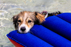 Dog on an air mattress Stock Images