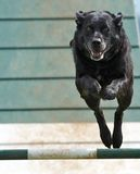 Dog Airborne. Black Dog in Full Airborne mode during dog trails stock photography
