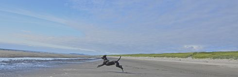Dog airborne. Dog jumping at the beach while running to catch a ball Royalty Free Stock Photo