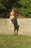 Dog is airborne jumping off a retaining wall Royalty Free Stock Image