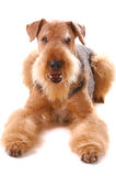 Dog Airedale Stock Photos