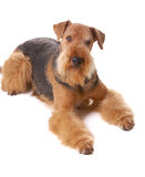 Dog Airedale. Pureblooded dog Airedale isolated on white background royalty free stock photo