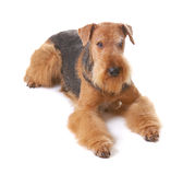 Dog Airedale Royalty Free Stock Photo