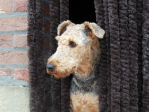 Dog Airedale Terrier looking outside. Black and brown dog Airedale Terrier looking outside Stock Photo