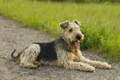 Dog. Airedale. Airedale terrier dog lying on the road in the green grass sunny summer evening royalty free stock photography