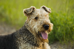 Dog. Airedale. Royalty Free Stock Image