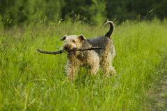Dog. Airedale. Stock Photography