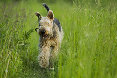 Dog. Airedale. Royalty Free Stock Photo