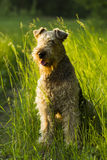 Dog. Airedale. Royalty Free Stock Images