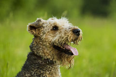 Dog. Airedale. Airedale terrier dog sitting in green grass on a sunny summer evening stroll stock photos