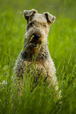 Dog. Airedale. Royalty Free Stock Photos