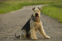 Dog. Airedale. Airedale terrier dog sitting on the road sunny summer evening royalty free stock photography