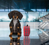 Dog in airport terminal on vacation. Holiday vacation dachshund sausage dog waiting in airport terminal ready to board the airplane or plane at the gate, luggage Royalty Free Stock Images