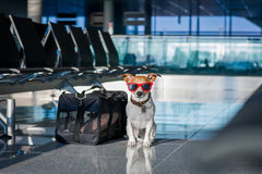 Dog in airport terminal on vacation. Holiday vacation jack russell dog waiting in airport terminal ready to board the airplane or plane at the gate, luggage or Royalty Free Stock Image