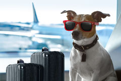 Dog in airport terminal on vacation. Holiday vacation jack russell dog waiting in airport terminal ready to board the airplane or plane at the gate, luggage or Stock Photos