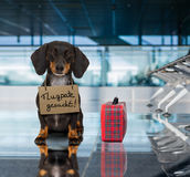 Dog in airport terminal on vacation ready for transport in a box. Dachshund sausage dog waiting in airport terminal ready to be transported in a pet box by stock photo
