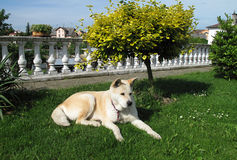 Dog Akita Inu japanese breed Stock Image