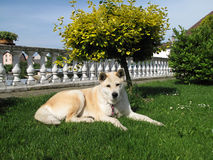 Dog Akita Inu japanese breed Royalty Free Stock Photography