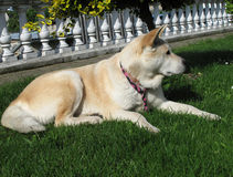 Dog Akita Inu japanese breed Royalty Free Stock Image