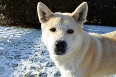 Dog Akita Inu japanese breed Royalty Free Stock Photo