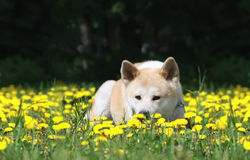 Dog, Akita Inu lies on a glade Royalty Free Stock Photos