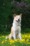 Dog,  Akita Inu Sits on a glade in dandelions Stock Photo