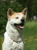 Dog,  Akita Inu Sits on a park Royalty Free Stock Photos