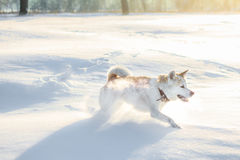 Dog Akita Inu steps on white fluffy snow at the time of fabulous sunset. Stock Image