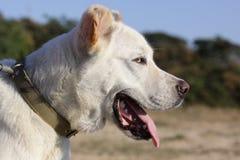 Dog alabay. Turkmen wolfhound dog breeds, big and strong Stock Photo